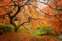 Japanese Maple, Horizontal